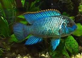Neon Acara fish for sale