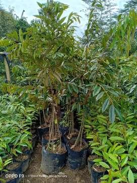 Bibit durian musang king kaki 3 tinggi 2m