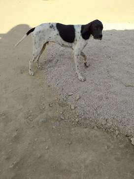 Pointer dogs