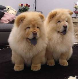 Imported Chow Chow pup