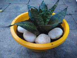 sansevieria plants