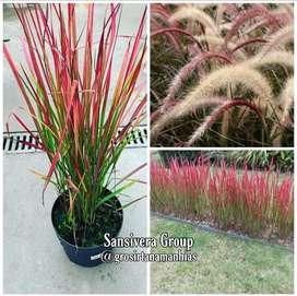 tanaman ilalang merah / alang alang merah