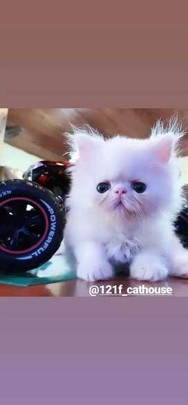 Kucing persia peaknose longhair white solid jantan