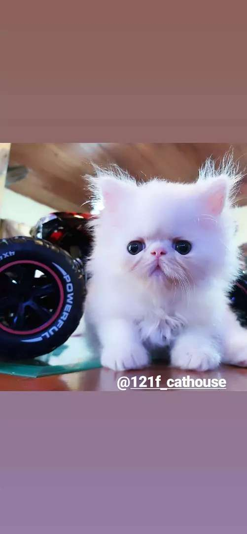 Kucing persia peaknose longhair white solid jantan 0