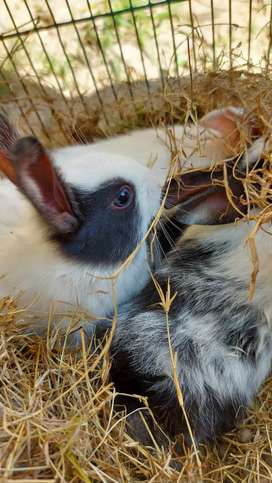 3 months old DUTCH Rabbits/ Bunnies for Sale