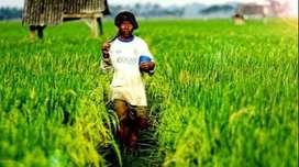Jual Cepat Tanah Sawah produktif sawah panen setiap tahun di srikamuly