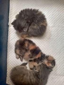 Kitten Persia longhair