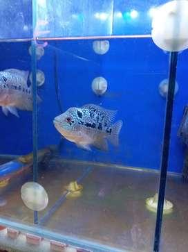 Ikan louhan cencu murah