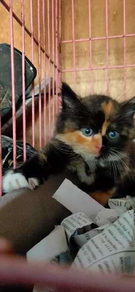Kitten Medium Persia Betina