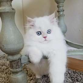 PERSIAN HIMALAYAN RAGDOLL SIAMESE SIBERIAN KITTENS AND CAT'S AVAILABLE