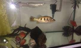 Ikan predator dan Arwana silver 23cm