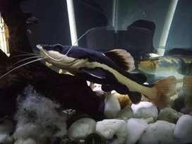 Red tail fish / RTC