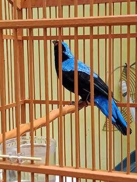 Jual burung cucak biru.. burung rawatan sudah 8 bulan bunyi rajin..