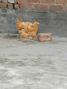 ASEEL AND HEAVY GOLDEN BUFF CHICKS AVAILABLE