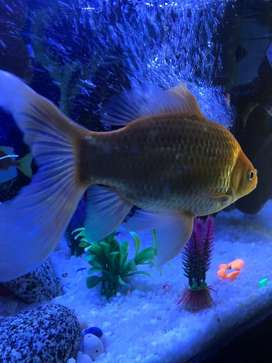 Golden fish active and beautiful