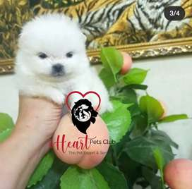Pomeranian puppies ready for import