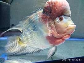 Ikan louhan cencu short body