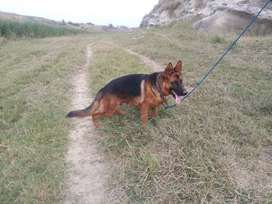 i want to sell out my pet germen shepherd 8 mnth old