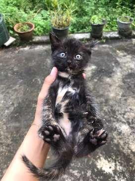 Kucing kitten persia jawa