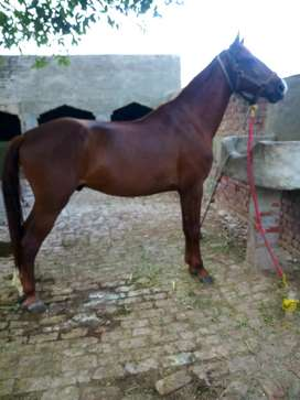 Thoroughbred 4 year old for sale