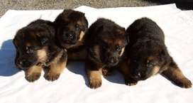 German Shepherd puppies Male/Female For Sale Only For Family