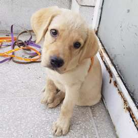 LABRADOR FEMALE PUPP