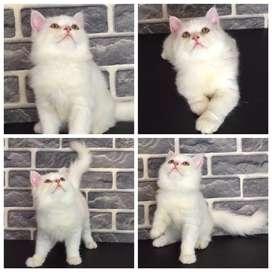 Jual 11 ekor Kucing Persia (Jantan dan Betina) - BEKASI CAT HOUSE