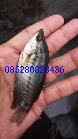 Jual ikan sepat siem