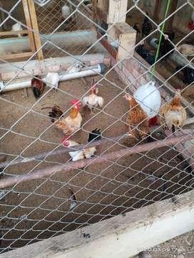 Ayam kateeeeeee