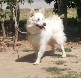 Russian puppy dog female 7 months for sale