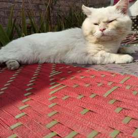 Persian short hair male cat blue eyes for sale