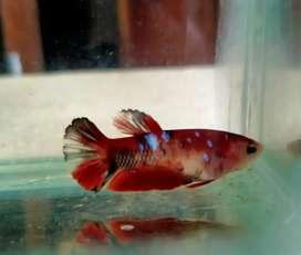 Ikan cupang red koi galaxy female/betina
