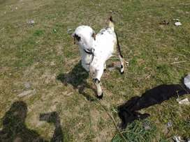 For sale goat