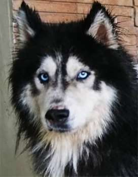 Siberian Husky Male BLUE EYES IMPORTED Cross Stud Mate Available
