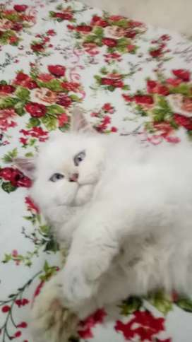 Arabic Persian Cat's are available in Andhra Pradesh