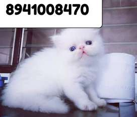 Shiny blue eye Persian kitten for sale
