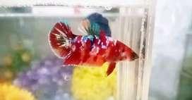 Ikan Cupang Hias Multi Galaxy Female
