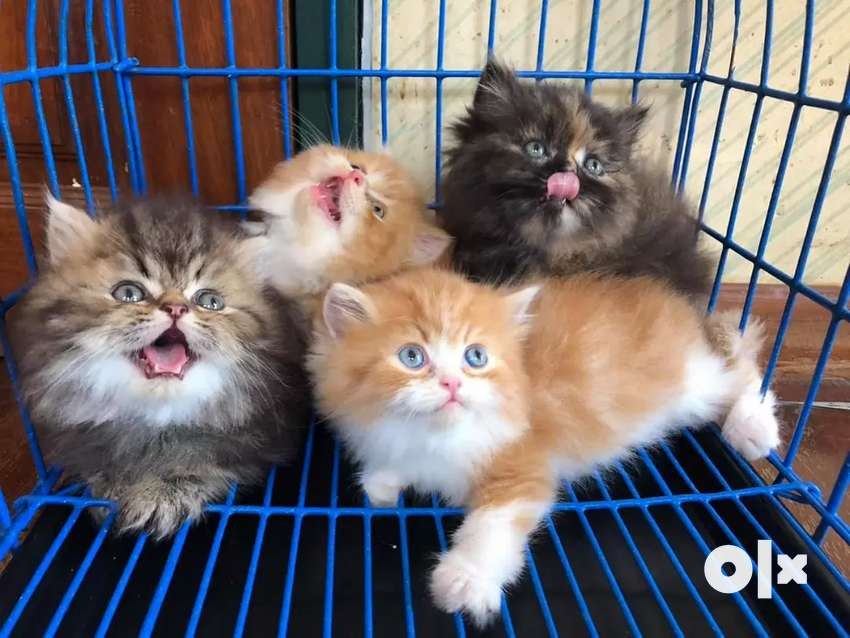 FCI registered pure Persian kitten for sale 0