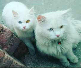 1 year old pair of persian cats