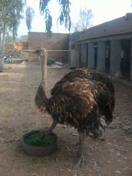 Egg laying Ostrich