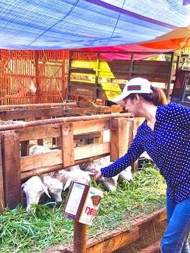 Domba garut/lokal dan kambing  (jantan/betina)