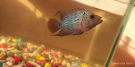 "Flowerhorn fish for sale(4"" inches)"