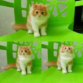 super cute13500 Persian cat kitten sale cash on delivery