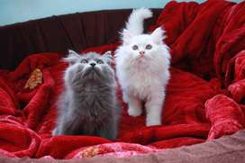 Cute Persian Kittens and Cats for Sale