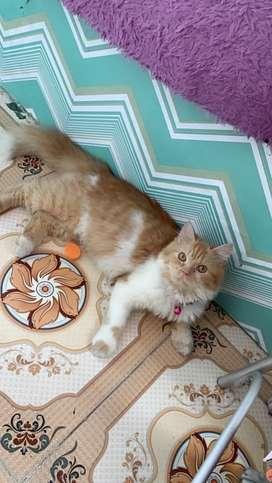 Kucing Persian Kitten 6 Bulan