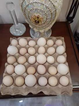 Desi/golden misri eggs fertile available for sale
