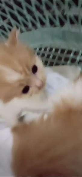 Kucing Persia Imut Lucu