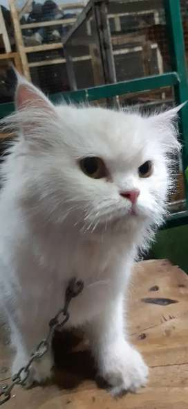 Female cat available in white colour