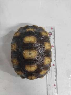 Kura-kura Darat Sulcata