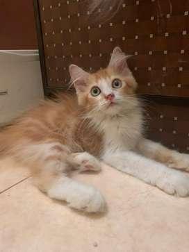 kucing persia mix mainecoon jantan usia 2,5 bulan manja dan lincah